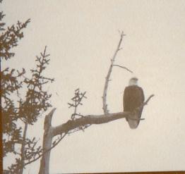 AK_eagle